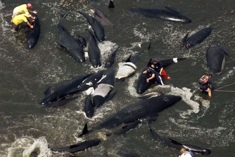 RESCUERS ATTEMPT TO COOL BEACHED WHALES AND COAX THEM BACK TO SEA OFF CAPE COD.