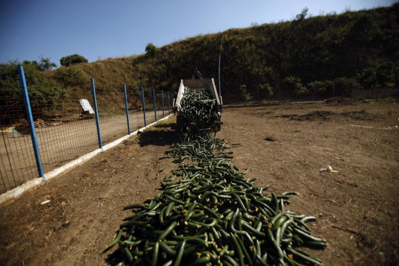 A farmer unloads discarded cucumbers to feed his goats in Algarrobo
