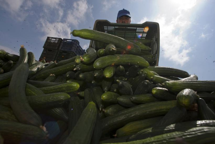 A farmer throws out a cucumber crop after it was impossible to sell it