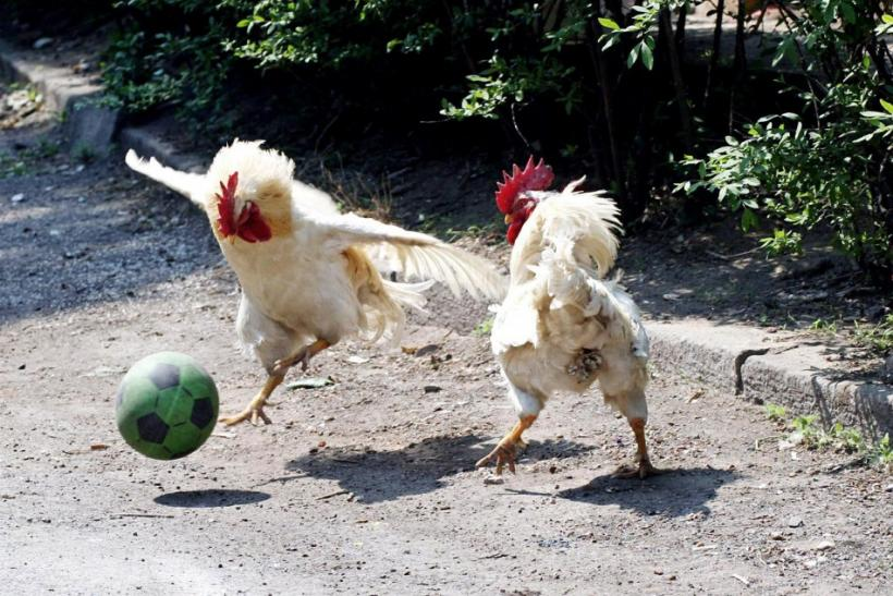 Roosters play with a rubber ball in Shenyang