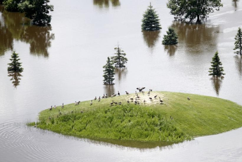 Geese find refuge on a high spot surrounded by floodwaters in Minot