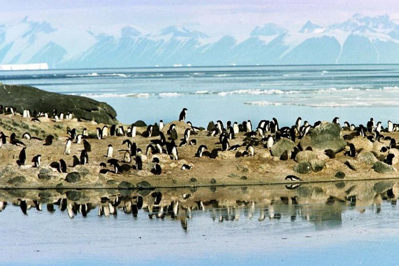 A colony of Adelie penguins settled on a rocky spur above ice melt pools gather in front of the Ross Sea ice shelf in Antarctica