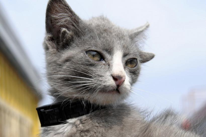 Luntik, a three-month-old kitten with four ears, looks on in Russia's far eastern city of Vladivostok