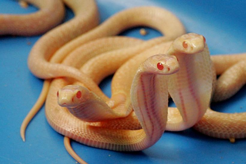 Two-week-old Sri Lankan Albino cobras move at the National Zoological Gardens in Colombo