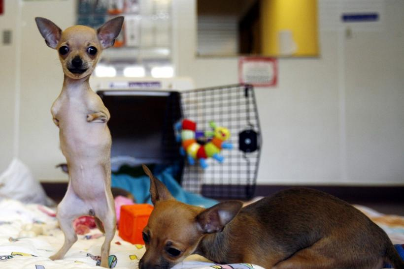 Venus the Chihuahua stands on her hind legs in Port Washington