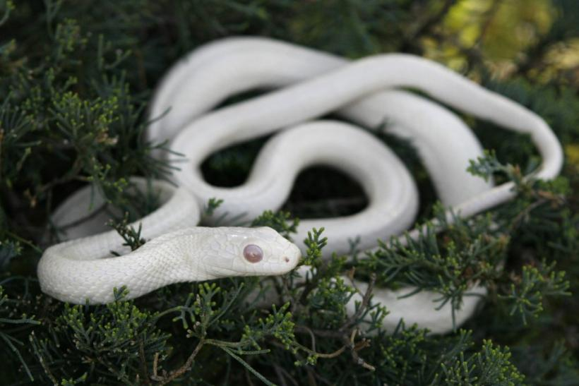 A white albino Japanese Rat Snake is seen at a snake viewing facility in Iwakuni