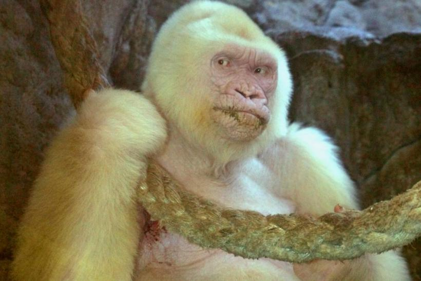 File picture of Albino gorilla, Snowflake