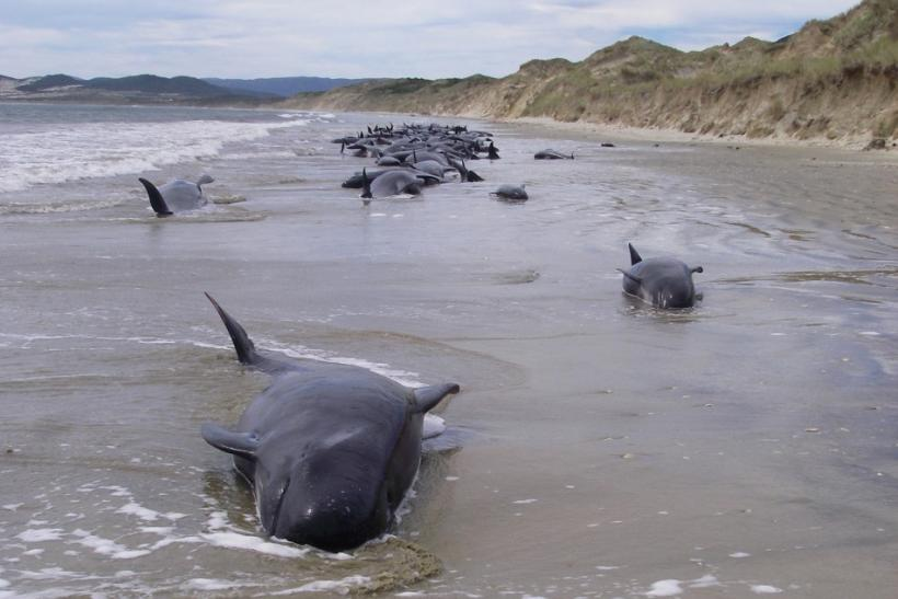 The NZ Department of Conservation will refloat the whales from a Tauranga beach