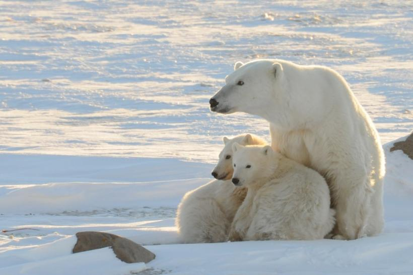 A World Wildlife Fund photograph taken along the western shore of Hudson Bay shows a female polar bear with two cubs near Churchill Canada