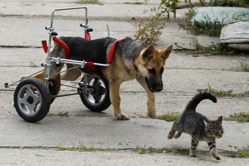 Ciuchcia (Steam train engine), a four-month-old dog, chases a cat in a courtyard after being helped onto a specially made wheelchair at Schronisko (Shelter), a shelter for homeless animals, near Piotrkow Trybunalski