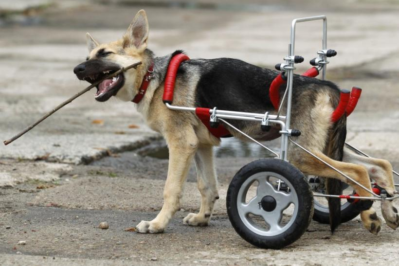 Ciuchcia (Steam train engine), a four-month-old dog, plays in a courtyard after being helped onto a specially made wheelchair at Schronisko (Shelter), a shelter for homeless animals, near Piotrkow Trybunalski