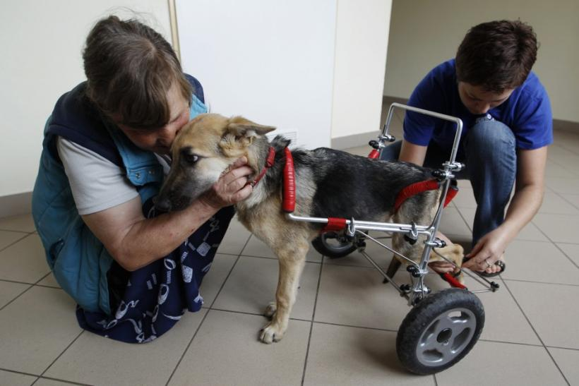 Ciuchcia (Steam train engine), a four-month-old dog, is helped by staff members onto a specially made wheelchair at Schronisko (Shelter), a shelter for homeless animals, near Piotrkow Trybunalski