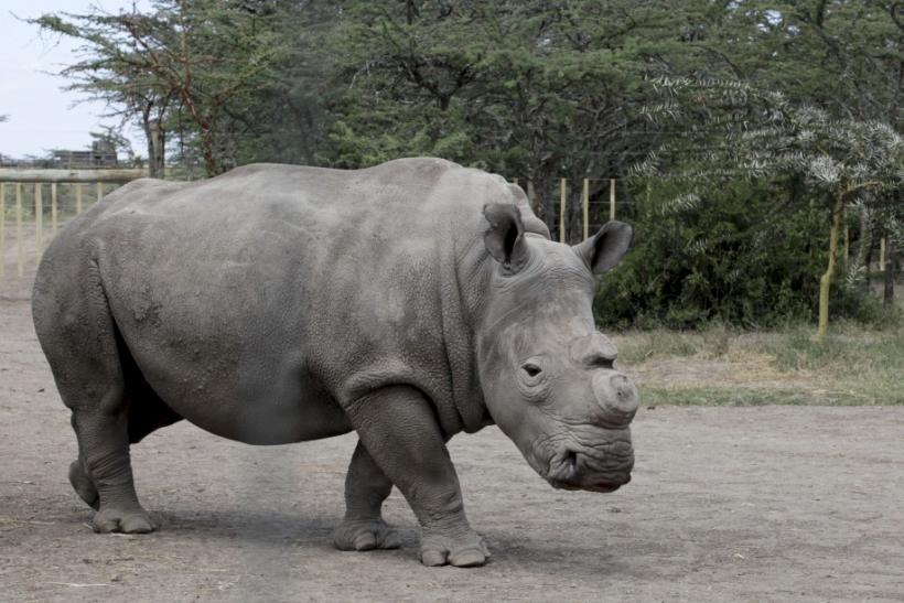 A female Northern White Rhinoceros walks inside its pen at the Ol Pejeta Conservancy near Nanyuki town 19/01/2010
