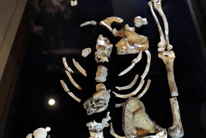 One of the two Sediba skeletons is displayed at the University of the Witwatersrand in Johannesburg