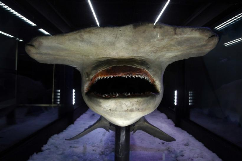 A 4.5m frozen Great Hammerhead Shark is seen at Melbourne Aquarium