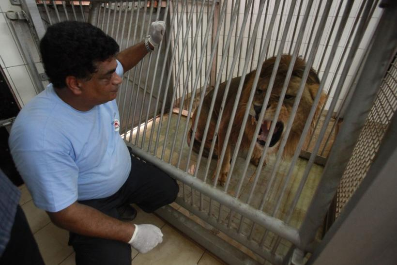 A member of Animal Charity Four Paws looks at a lion belonging to Muammar Gaddafi's son Al-Saadi