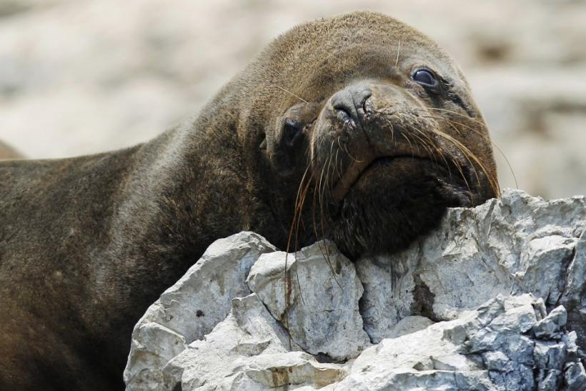 A sea lion is seen at Isla de Asia