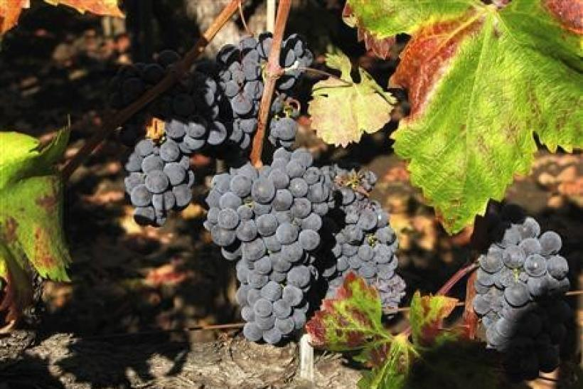 Zinfandel grapes grow in a Napa Valley, California vineyard that supplies grapes to Frank Family Vineyards