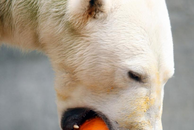 Polar bear pumpkin