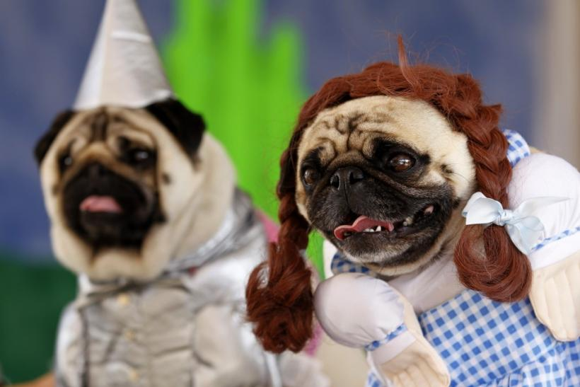 "Two pug dogs dressed up as Dorothy and the Tin Man, from the movie ""Wizard of Oz "", as they are posed to have their picture taken at the Pug Rescue of San Diego County's 20th annual Pug Party in Del Mar"
