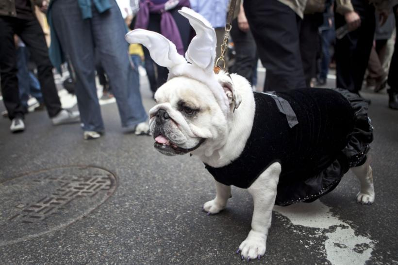 An English bulldog poses for portraits during the Easter Parade and Easter Bonnet Festival on the 5th Avenue in New York City