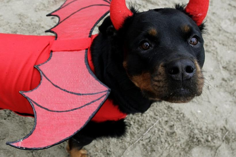 A rottweiler wearing a costume is seen during a dog exhibition dedicated to the upcoming New Year holiday in Rostov-on-Don