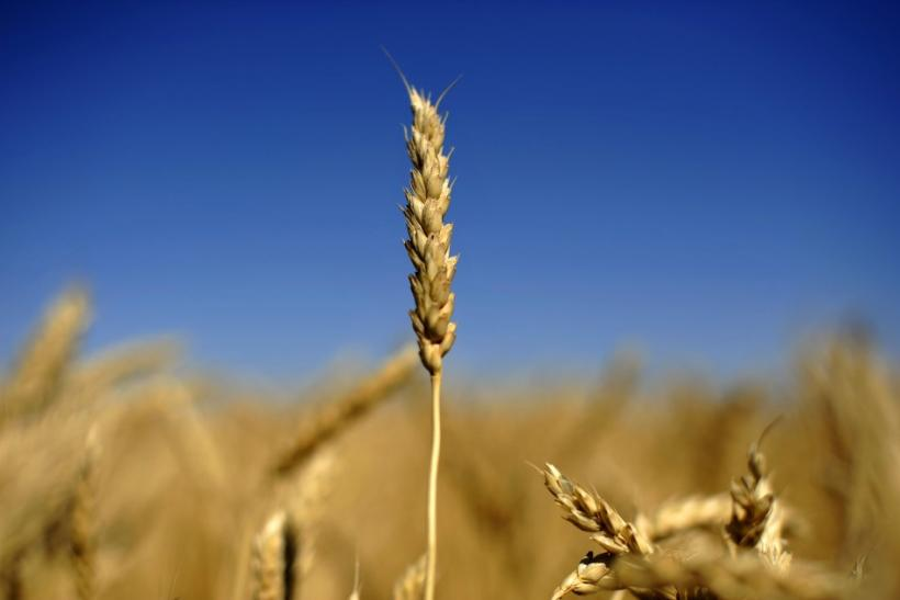 An ear of wheat is seen on the Canadian prairies near Lethbridge