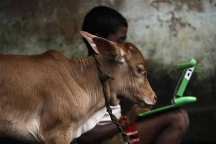 A schoolboy uses a laptop provided to him under 'one laptop per child' project by non-governmental organisation (NGO) as a calf stands near in a primary state-run school on the eve of International Literacy Day at Khairat village, about 90 km (5