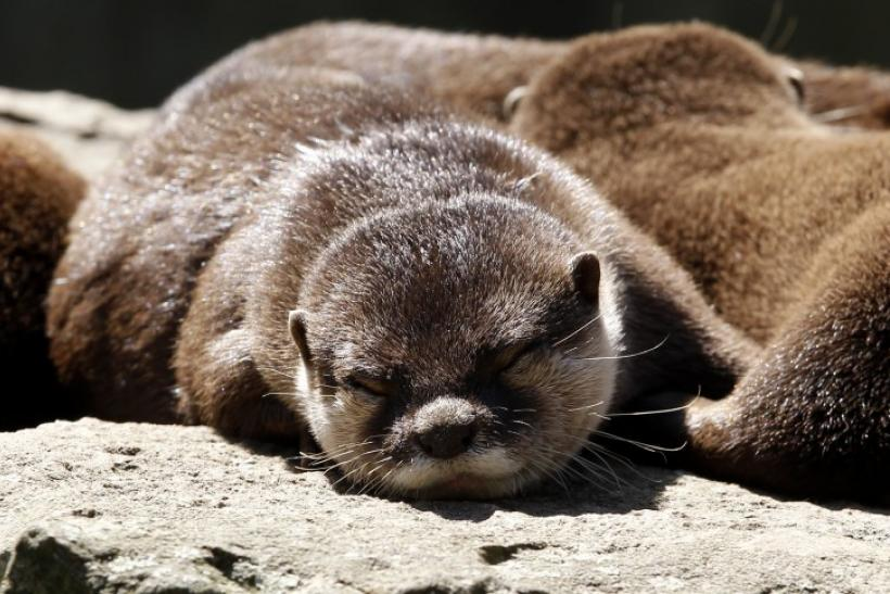 Oriental Small - Clawed Otters relax in their enclosure on a hot and sunny day at the Berlin Zoo
