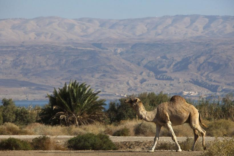 A camel walks near the shore of the Dead Sea
