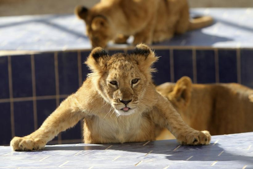 A four-month-old lion cub is seen inside its cage at Jordan's zoo in Yaduda