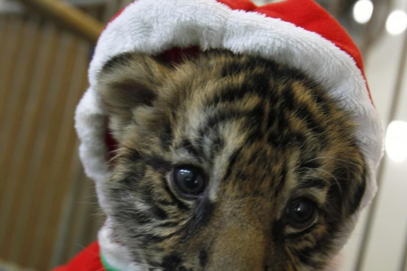 A tiger cub dressed as Santa Claus is seen on Christmas Eve at the Sriracha Tiger Zoo in Thailand's Chonburi province