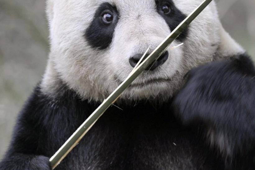Sweetie the Giant Panda One of BBC's 'Woman of Year'