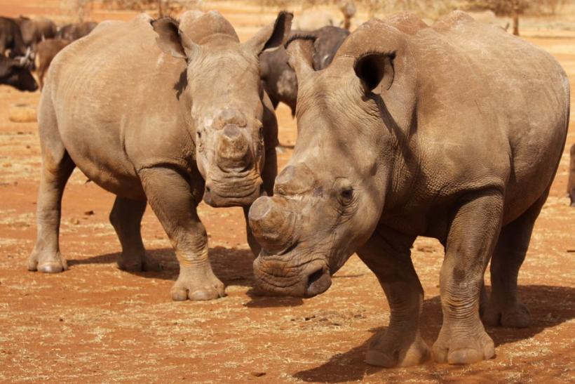 Dehorned Rhinos At South Africa's Kruger National Park