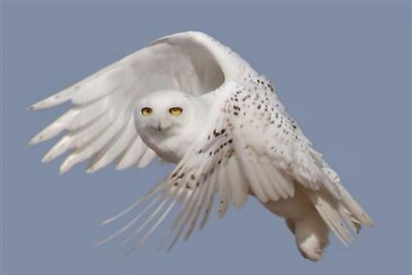 A snowy white owl takes flight in this undated handout photo courtesy of U.S. Fish & Wildlife Service. Bird enthusiasts are reporting rising numbers of snowy owls from the Arctic winging into the lower 48 states this winter in a mass southern migration th