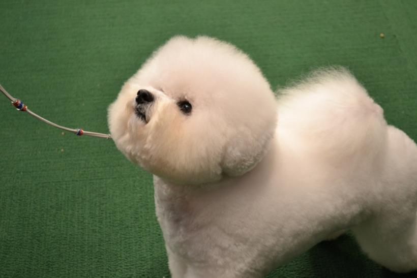 This Bichon Frises stares hopefully at his handler.