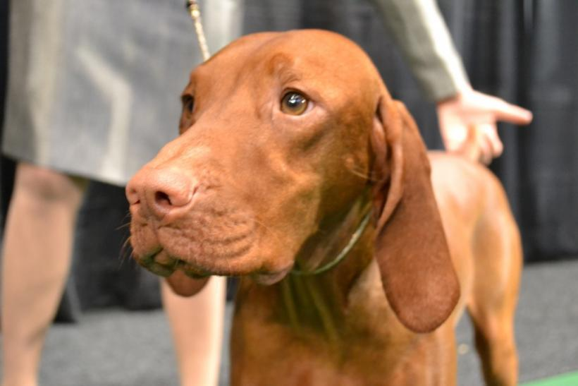 Libby the Vizsla