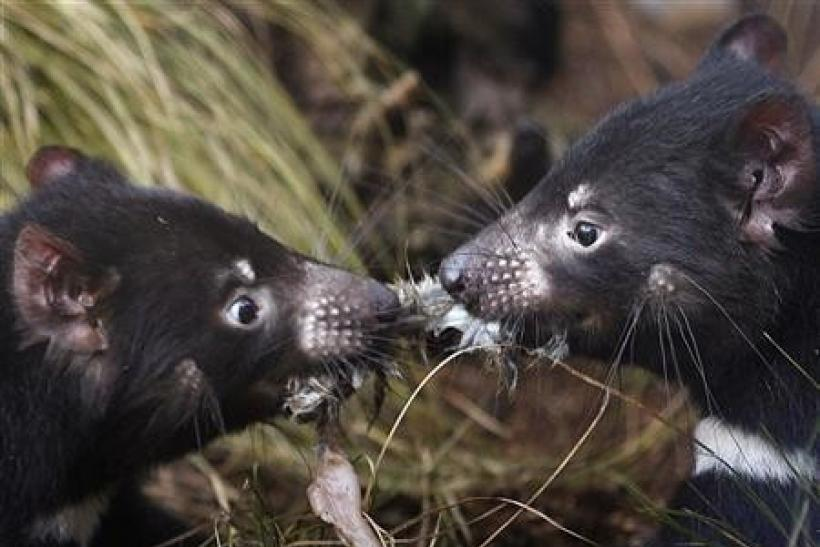 A pair of Tasmanian Devils tussles for a piece of rabbit in a new breeding centre at Sydney's Taronga Zoo June 30, 2010.