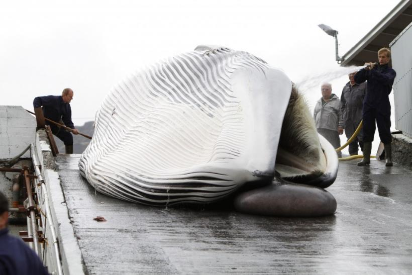 Workers tow a fin whale up a ramp to a processing plant at the Hvalfjordur whaling station, about 70 km north of Reykjavik