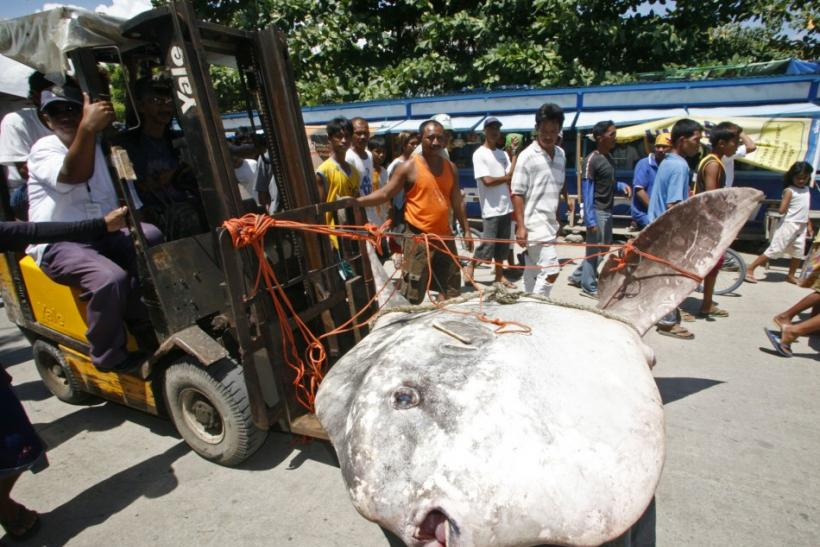 Rare 2,000-Pound Ocean Sunfish Caught And Photographed By Fishermen