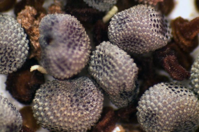 30,000 Year Old Fruit Grown From Frozen Siberian Seeds [PHOTOS]