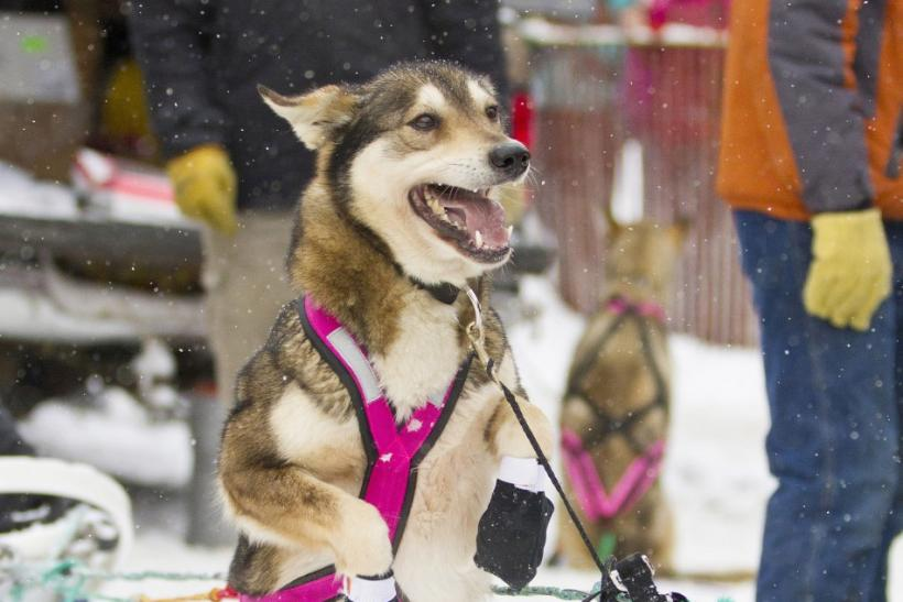 One of Zoya DeNure's sled dogs stands on its hind legs ahead of the ceremonial start of the 40th Iditarod Trail Sled Dog Race in downtown Anchorage
