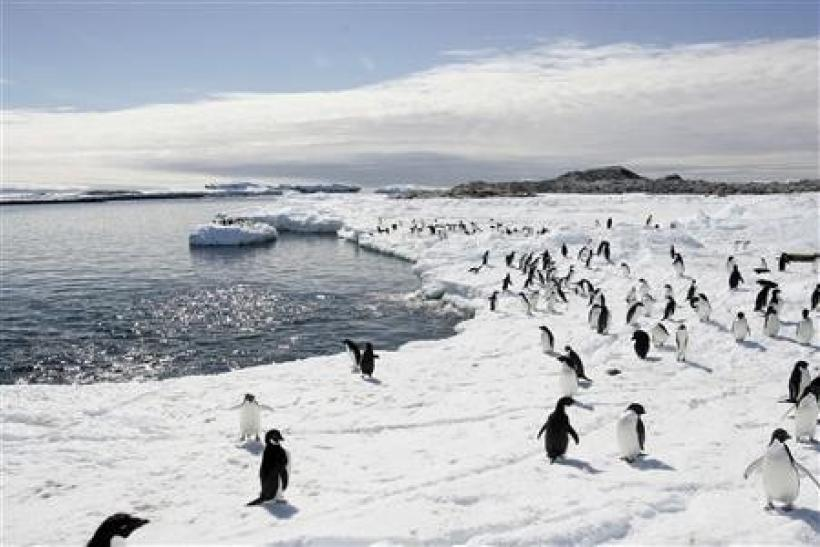 Adelie penguins walk on the ice at Cape Denison in Antarctica, in this December 12, 2009 file photo. Seeds and plants accidentally brought to the pristine frozen continent of Antarctica by tourists and scientists may introduce alien plant species which co