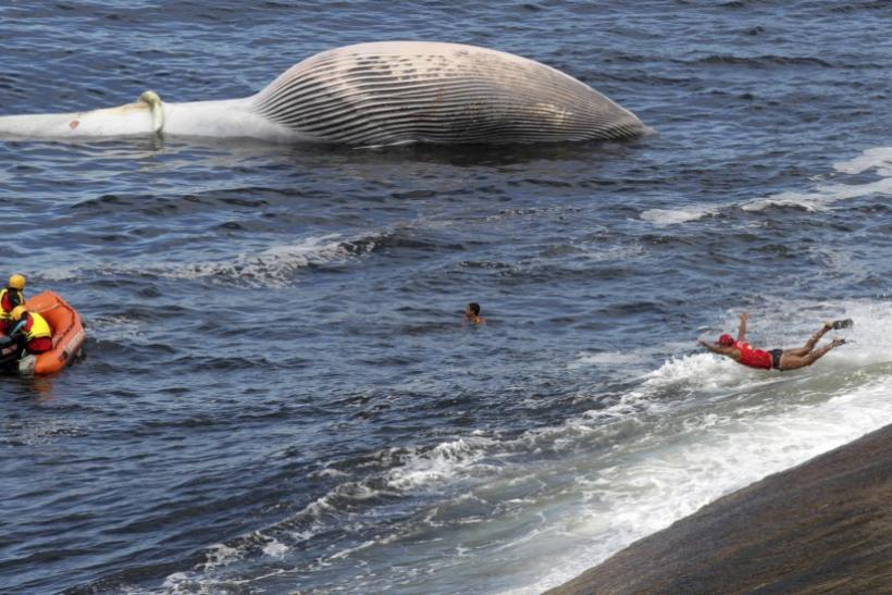 Dead Bryde's Whale Floats Off Rio Beach