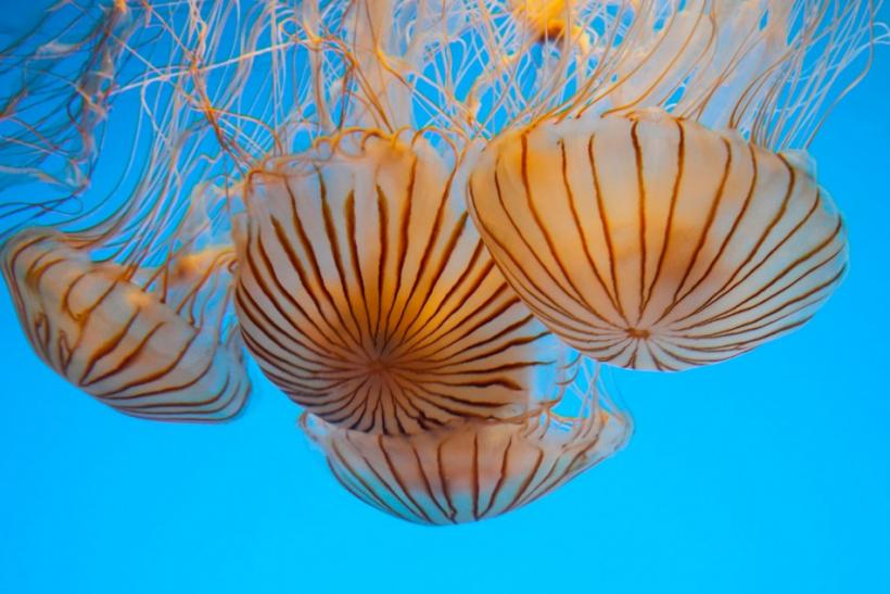 Jellyfish Blooming in Seas Around The World: Causes Signal At Human Activities & Global Warming