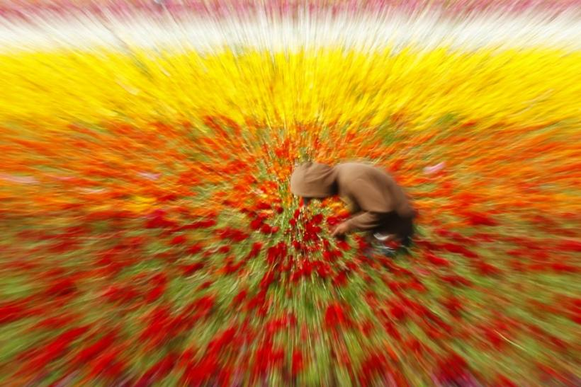 A worker stops to text a message as he hand picks giant tecolote ranunculus flowers at the Flower Fields in Carlsbad, California March 27, 2012.