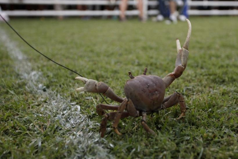 Tobago Island's Annual Goat and Crab Race