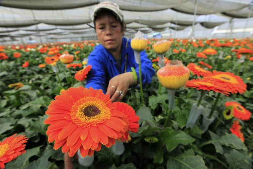 A Colombian grower ties nets around gerberas flowers at Elite greenhouse in Facatativa October 6, 2011.