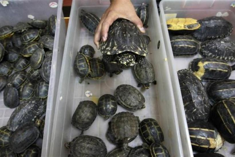 Thai Turtles in Suitcases