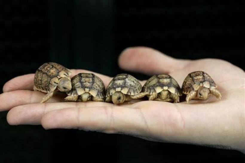 Endangered Egyptian Tortoises Smuggling in Suitcase